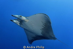 Mobula Rray - Azores by Andre Philip 